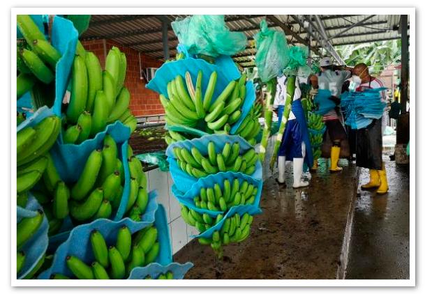 Ecuador-no-paró-su-racha-exportadora-de-banano-1