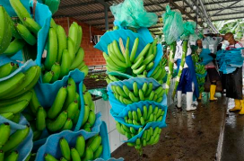 Ecuador-no-paró-su-racha-exportadora-de-banano
