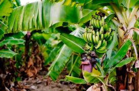 banana-africana