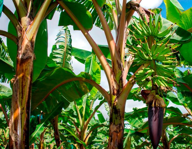maconzeb-y-Clorpirifos-banano-ecuador