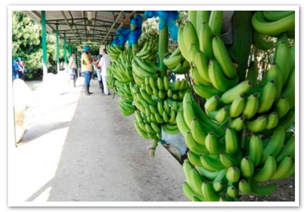 precio-de-banano-1