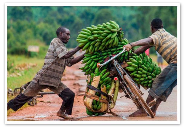 Nuevas-variedades-de-banana