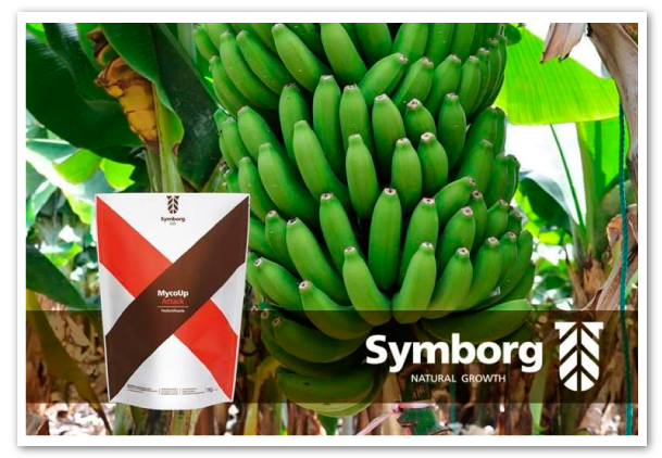 Symborg-patenta-hongo-Glomus-iranicum-var-tenuiphypharum-banano