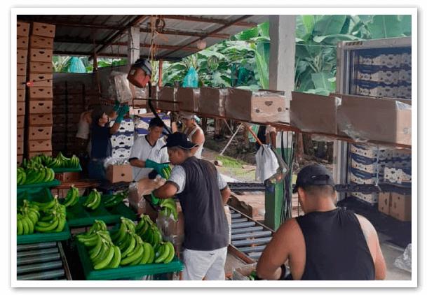 Estructura-comercial-del-negocio-bananero