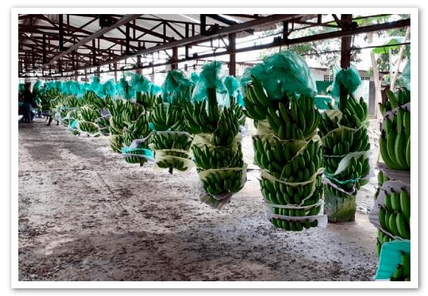 Exportaciones-de-banano-Una-de-cal-y-otra-de-arena