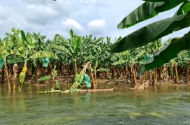 lluvias-mantienen-en-vilo-la-produccion-bananera