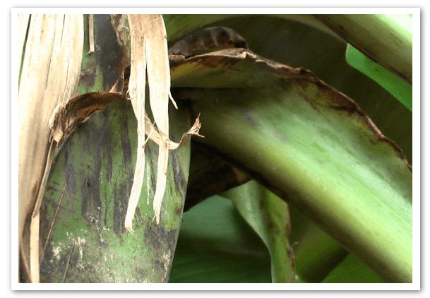 El-Clorpirifos-y-la-cochinilla-harinosa-1