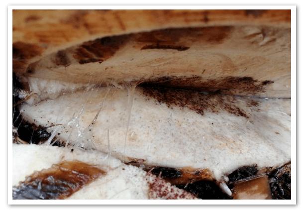 Peru-confirma-infestación-con-hongo-FOC-R4T-1