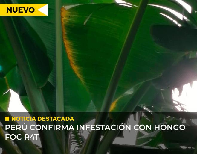 Peru-confirma-infestación-con-hongo-FOC-R4T