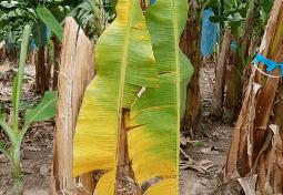 Se-ha-desatendido-pandemia-vegetal-FOC-R4T-1