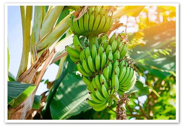 productores-bananeros-advierten-de-una-menor-oferta-de-bananos-en-el-2021-1
