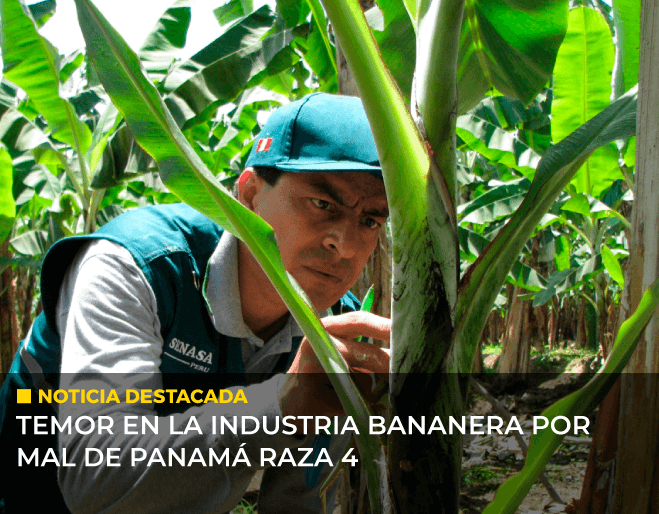 temor-en-la-industria-bananera-por-mal-de-Panama-raza-4