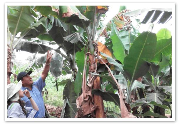 temor-en-la-industria-bananera-por-mal-de-Panama-raza