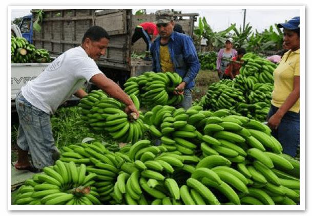Productores-Bananeros-ecuador